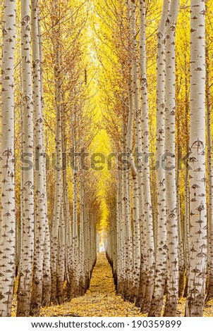 Path leads between fall trees with yellow leaves - stock photo