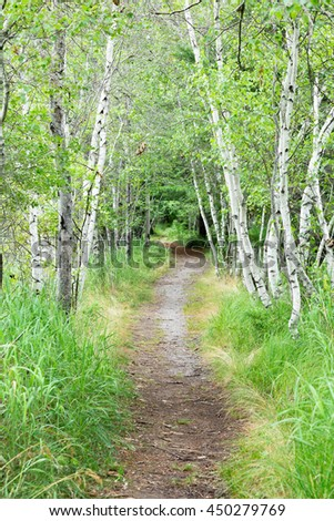 Path lined with birch trees in Acadia National Park.