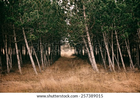 Path on pine forest - stock photo