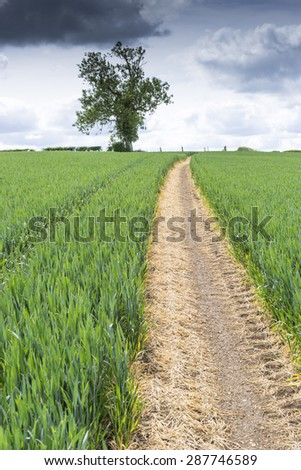 Path through a field of young wheat in the spring. Path disappears towards the horizon - stock photo