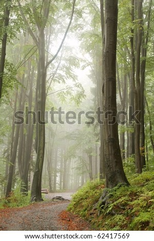 Path through a misty beech forest on a rainy early autumn day.