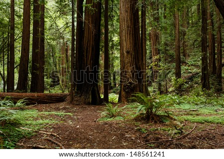 Path through coastal redwood trees in Muir Woods National Monument part of Golden Gate International Biosphere Reserve