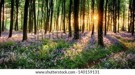 Path through purple bluebell woods in early morning sunrise