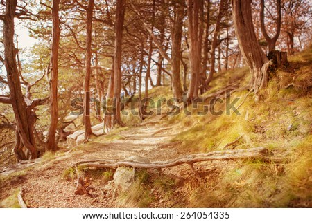 Path through the cedar trees.  Instagram effect - stock photo