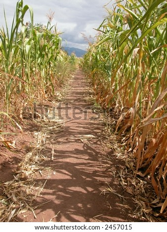 path through the cornfield, a maize maze - stock photo