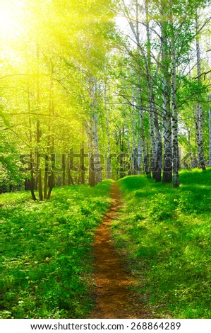 Pathway at spring sunny birch forest - stock photo