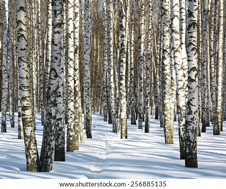 Pathway in winter birch forest in sunny weather - stock photo