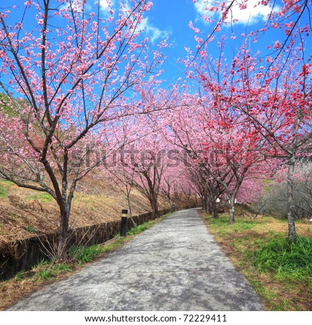 pathway into spring cherry blossom trees - stock photo