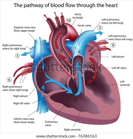 blood flow through the heart step by step flow chart: Pathway blood flow through heart stock illustration 76386163