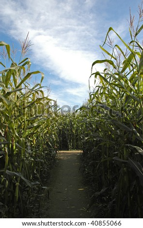 Pathway through the corn maze - stock photo