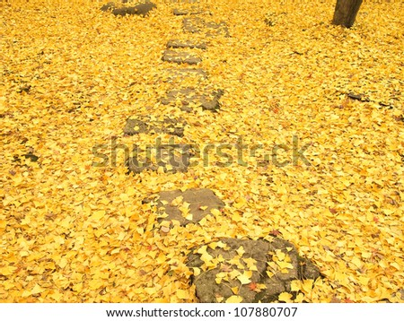 Pathway through the ground covered with ginkgo leaves in autumn.