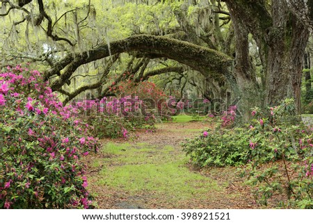 pathway under oak trees