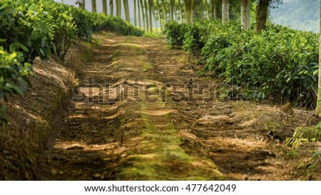 Pathway under the trees in the tea plantation