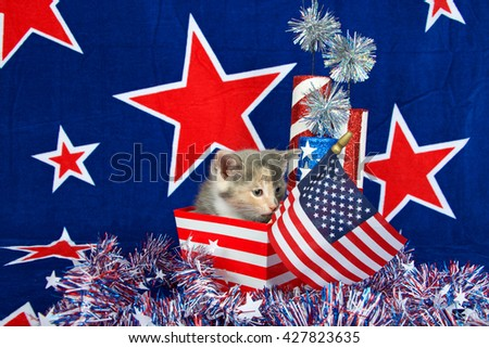Patriotic calico kitten, blue background with red stars outlined in white, American flag kitten sitting in red and white stripped box tinsel with white stars on table in front of her. - stock photo