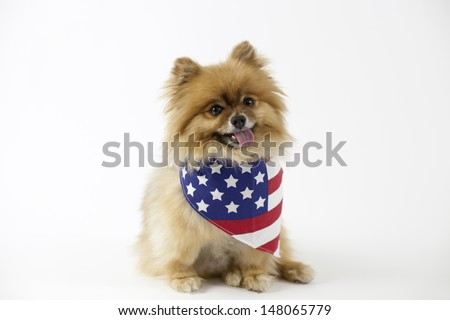 Patriotic Pomeranian with American flag bandana - stock photo
