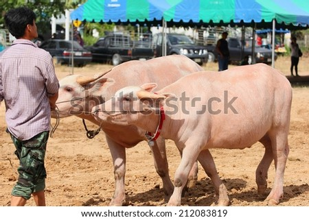 PATTAYA - AUGUST 17: Participant are preparing to compete buffalo racing at Nong Prue City at Mabprachan Reservoir in Pattaya, Thailand on August 17, 2014.  - stock photo