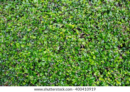 Pattern carmona Retusa (Vahl) Masam plant background