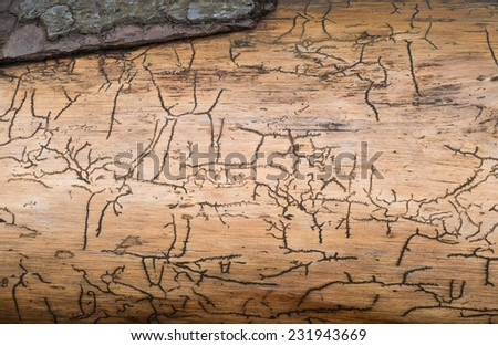 Pattern caused by bark beetles under the bark of a tree