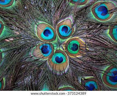 Pattern of colorful peacock feathers. Feathers background - stock photo