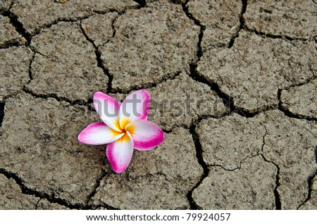 Pattern of cracked and dried soil With a Plumeria pink flower. - stock photo