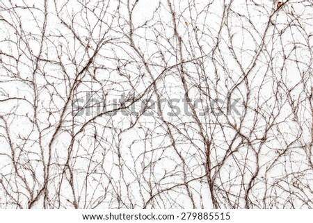 Pattern of dry ivy liana on the white wall. - stock photo