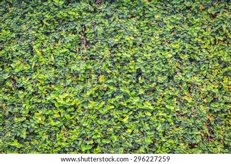 Pattern of green ivy on the wall, texture and background - stock photo