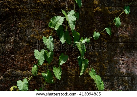 Pattern of ivy on the wall with shades on it - stock photo
