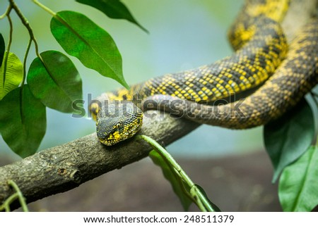 pattern of mangrove pit viper. - stock photo