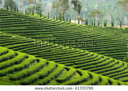 pattern of tea plantation ,North of thailand - stock photo