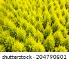 Pattern of young conifer trees in a greenhouse - stock photo