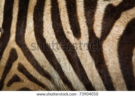Pattern of zebra skin useful for background - stock photo