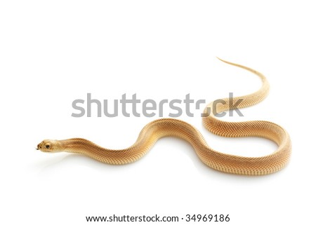 Patternless Southern Pine Snake (Pituophis melanoleucus mugitus) isolated on white background. - stock photo