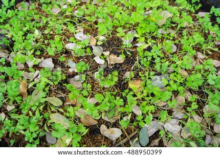Patterns of coriander leaves