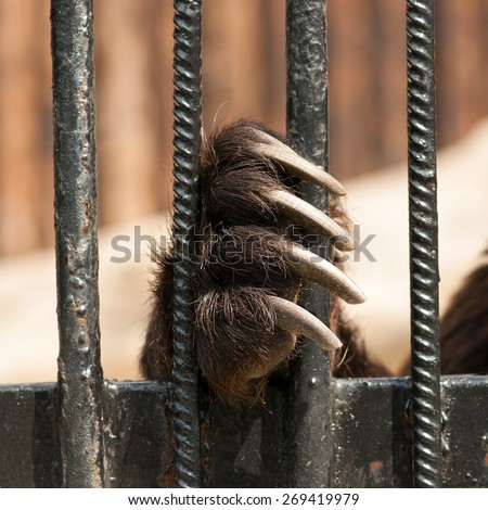 paw bear sitting in a cage in captivity - stock photo