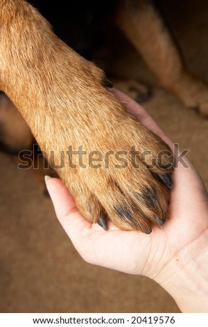 Paw of a dog of breed a Rottweiler.