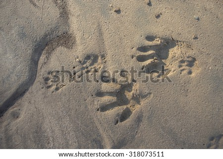 Paw prints of young and old raccoon in the mud of a California stream. - stock photo