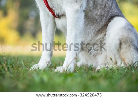 Paws of Siberian Husky closeup. Siberian Husky sits in the shade.  - stock photo