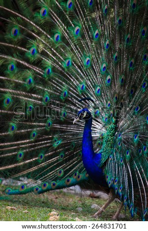 Paya-Indah Wetland, Malaysia - A male Indian peacock fan his tail feathers for a female in hopes of finding a mate. - stock photo
