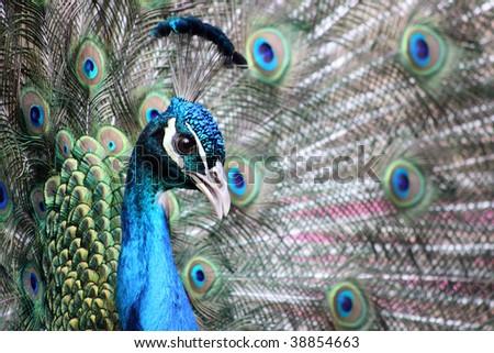 pea chick - stock photo