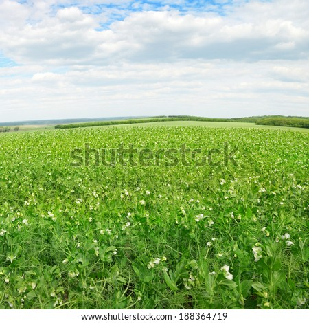 Pea field and blue sky                                     - stock photo