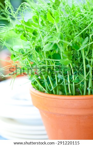 Pea Shoots growing in the home kitchen - stock photo