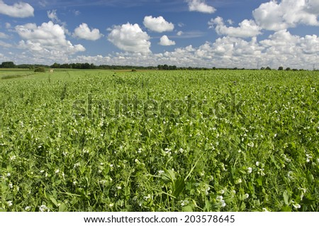 pea summer field agriculture landscape in farm - stock photo