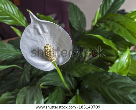 Peace Lily Flower (Spathiphyllum)  - stock photo