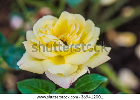 Peace Rose or Yellow Rose in Garden, Thailand. - stock photo
