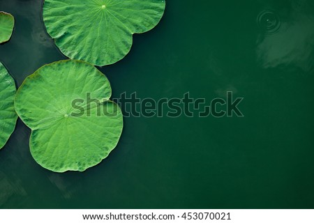 Peaceful and calm concept . Composition of Green lotus leaves in the lake .The details of lotus leaves over water.