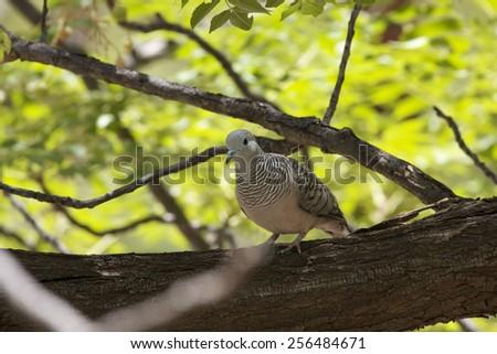 Peaceful Dove, Geopelia placida, perched in tree - stock photo