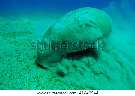 Peaceful manatee swimming underwater. Red sea. Egipt.