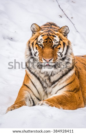 Peaceful mature Siberian Tiger resting on snow
