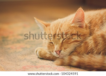 Peaceful orange red tabby cat male kitten curled up sleeping. - stock photo