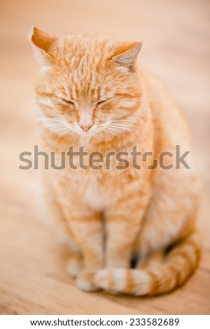 Peaceful Orange Red Tabby Cat Male Kitten Curled Up Sleeping At Home On Laminate Floor - stock photo